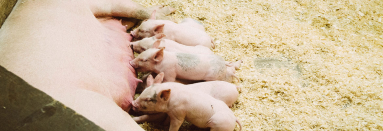 Dutch Pork Expo 2021